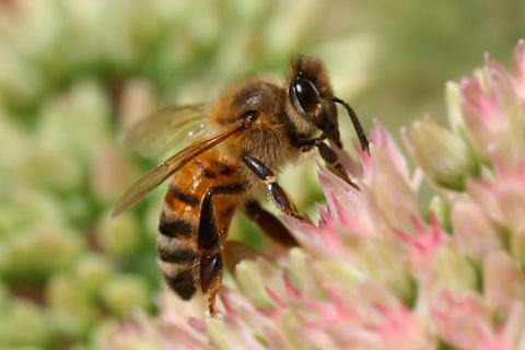 Photo of Apis mellifera