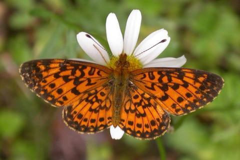 Photo of Boloria selene