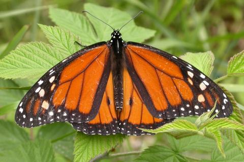 Photo of Danaus plexippus