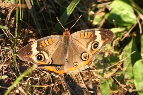 Photo of Junonia coenia