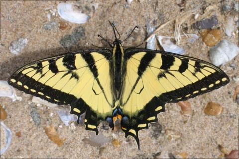 Photo of Papilio canadensis