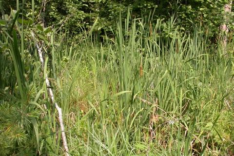 Photo of Typha latifolia