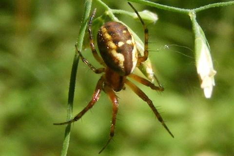 Photo of Mangora placida