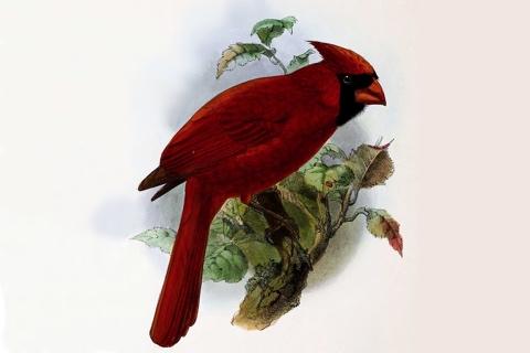 Photo of Cardinalis cardinalis