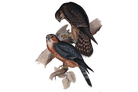 Photo of Falco columbarius