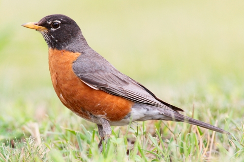 Photo of Turdus migratorius