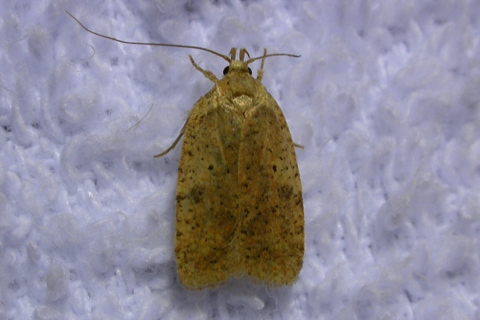 Photo of Agonopterix thelmae