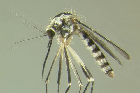 Photo of Ochlerotatus triseriatus