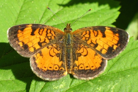 Photo of Phyciodes cocyta