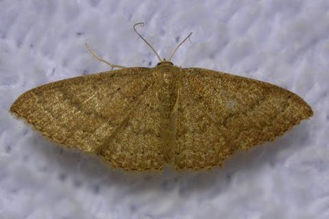 Photo of Pleuroprucha asthenaria