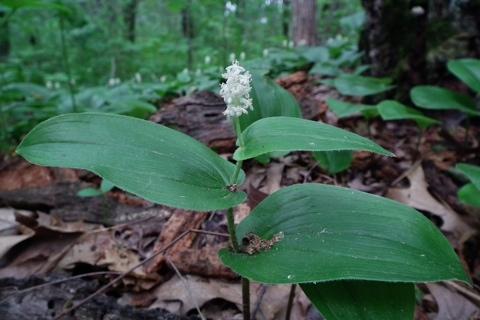 Photo of Maianthemum canadense