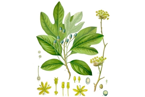 Photo of Sassafras albidum