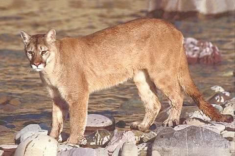Photo of Puma concolor