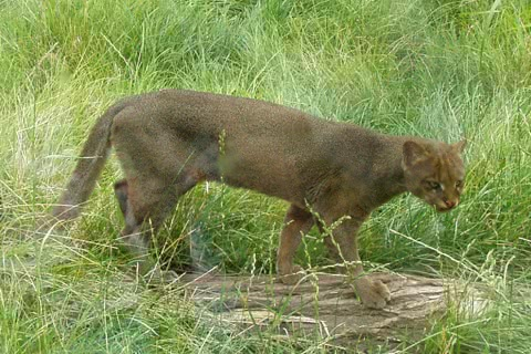 Photo of Puma yagouaroundi