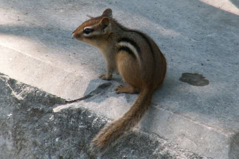 Photo of Tamias striatus